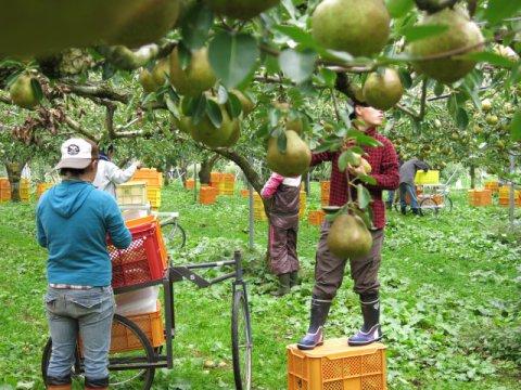 ラ・フランスの収穫体験10キロコース:画像