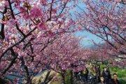 河津桜…その後…:画像