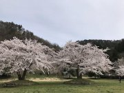 桜 満開です !!:画像