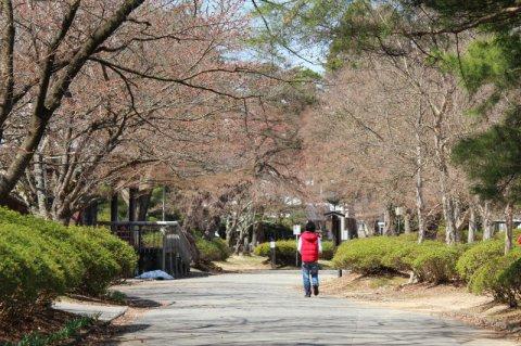 '14まちなか桜情報(4月15日):画像