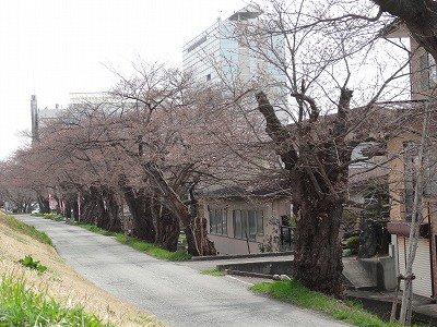 '13最上川堤防千本桜開花情報(4月18日):画像