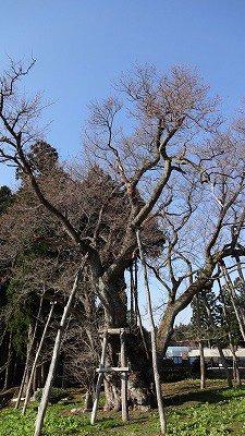 '13草岡の大明神桜開花情報(4月25日):画像