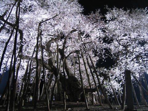 長井のさくらと記念木物語:画像