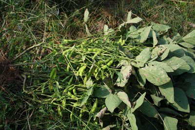 【秘伝豆の収穫〜おいしく育ちました!】:画像