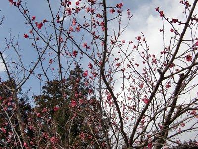 【桜より一足早く〜紅梅が咲きました】:画像