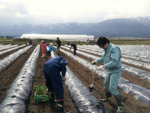 4/30(火) ながい1000人芋煮会 種芋植え付け作業実施:画像