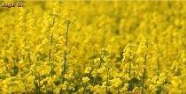 特集「清流に映る春の黄色」〜置賜野川沿いの菜の花畑~ :画像