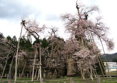 【古桜もそろそろ見頃です♪】:画像