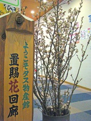 【春を先どり!啓翁桜まもなくはじまります】:画像