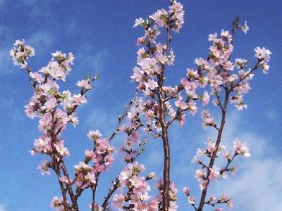 【一足早い春を〜冬の桜『啓翁桜』】:画像