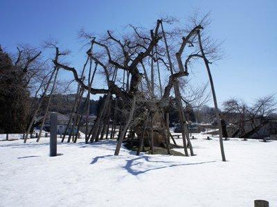 【久保桜は今〜2013年3月】:画像