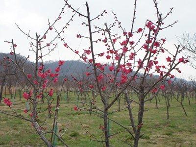 【梅が咲き始めました&さくら通信+゜*】:画像