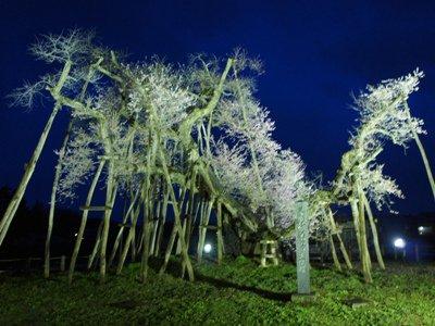 【伊佐沢念佛踊と夜の久保桜&さくら通信+゜*】:画像
