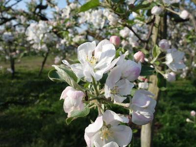 【リンゴの花が咲いてます♪】:画像