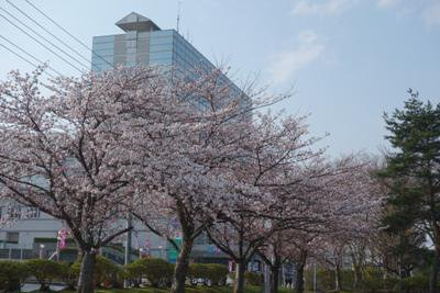 【春の香りのさくら茶】:画像