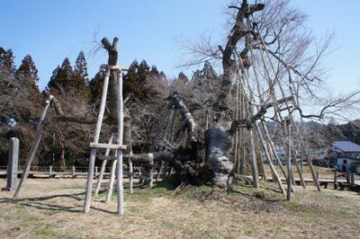 【今日の久保桜 !  】:画像