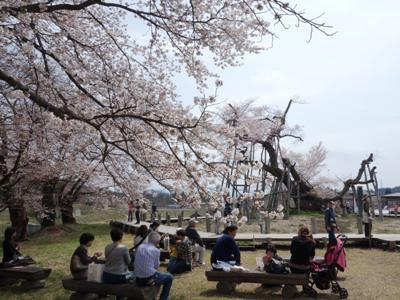 【桜の名所を繋ぐ 置賜さくら回廊 ≪予告≫】:画像