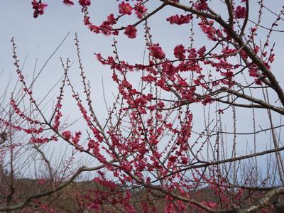 【梅が咲き始めました】:画像