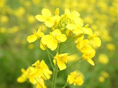 【キラリボシの菜の花油】:画像