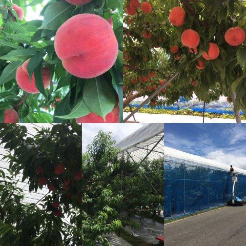 桃狩りは雨の日でもOK!:画像
