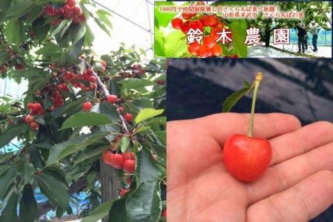 今年の♪さくらんぼ♪6/16〜7/2【鈴木農園】豊作!:画像