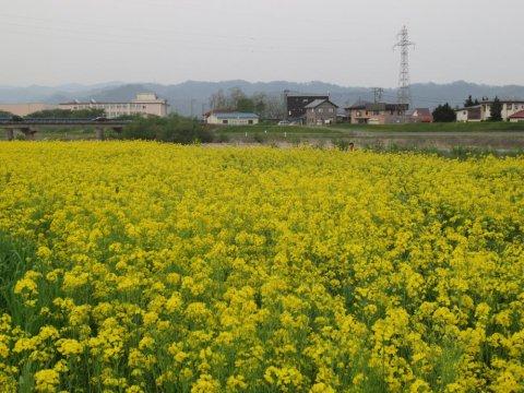 菜の花畑:画像