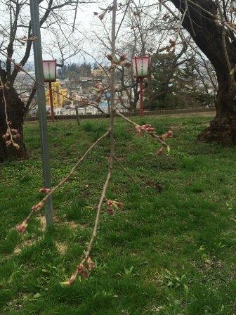 烏帽子山の桜(4月16日現在):画像