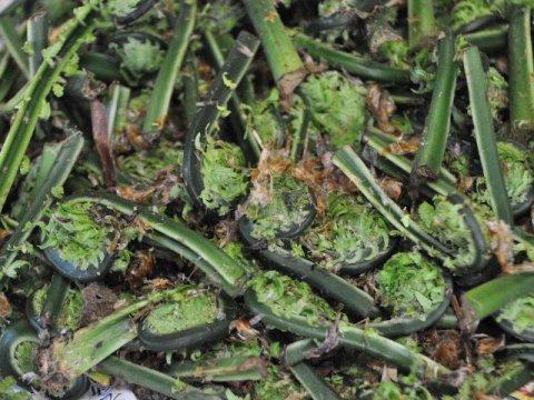 猟師じゃないと採れない山菜シリーズこごみ300g:画像