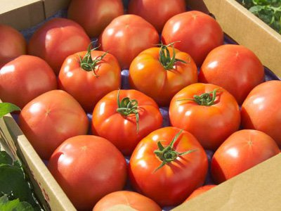 【買】県内産トマト|100kg:画像