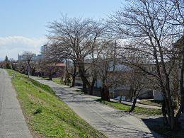 '17長井市内の桜開花情報(4月13日):画像