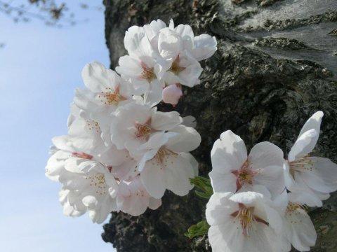 まほろばの緑道 桜開花情報:画像
