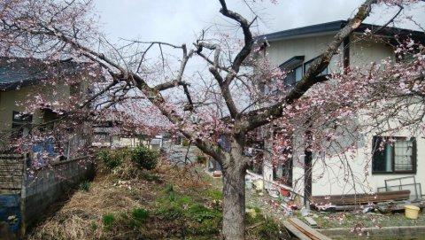 桜が咲きました。:画像