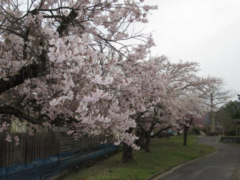 4/21 桜開花状況:画像