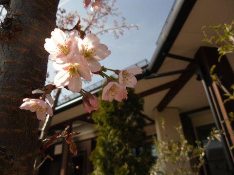 桜舎かふぇの前の啓扇桜が咲きました!:画像