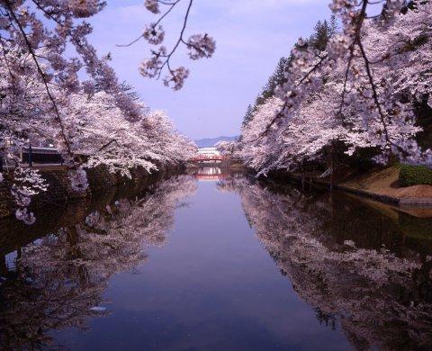2017年松が岬公園(上杉神社)桜情報:画像