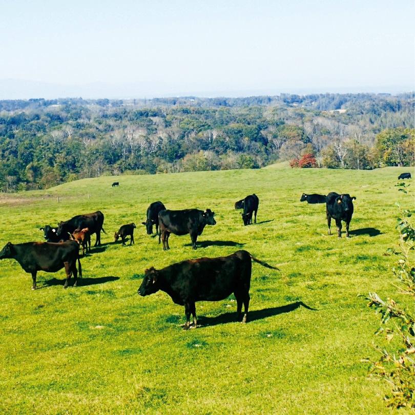 肥育牛によるバイオガス発電