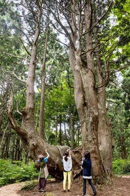 See beech and one of huge tree; corridor trekking (Mogami)