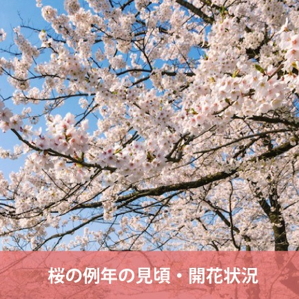 In full bloom, the flowering situation of average year of cherry tree of Yamagata Prefecture