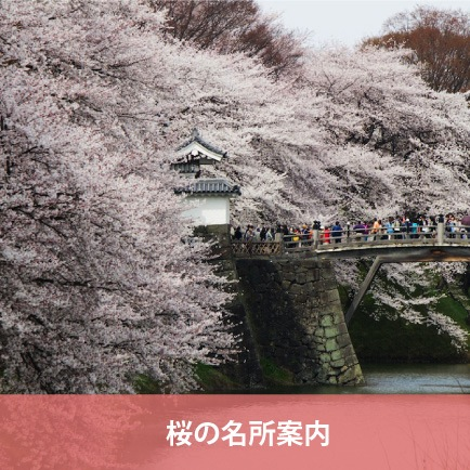 Best Spots of Cherry blossoms of Yamagata Prefecture