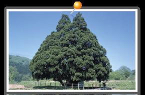 小杉的大杉树
