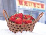 雪中草莓採摘的照片