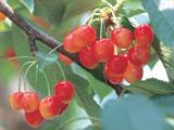 櫻桃狩獵的照片
