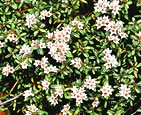 Loiseleuria procumbens (about June): Image