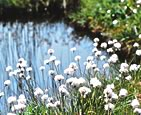 Cotton grass (6-7 these past months): Image