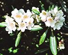Rhododendron Metternichii (about July): Image