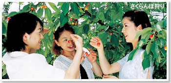 Photograph of Cherry picking