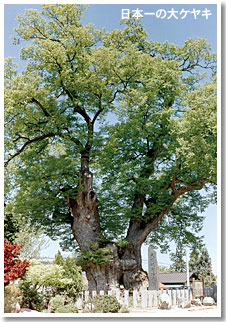 Photograph of the best large zelkova in Japan