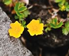 Potentilla (7-8 these past months): Image