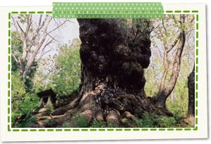 日本第一的大赤松