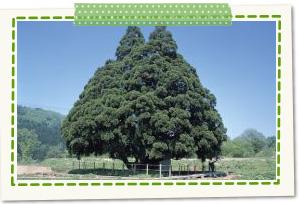 Small Sugino-osugi Cedars